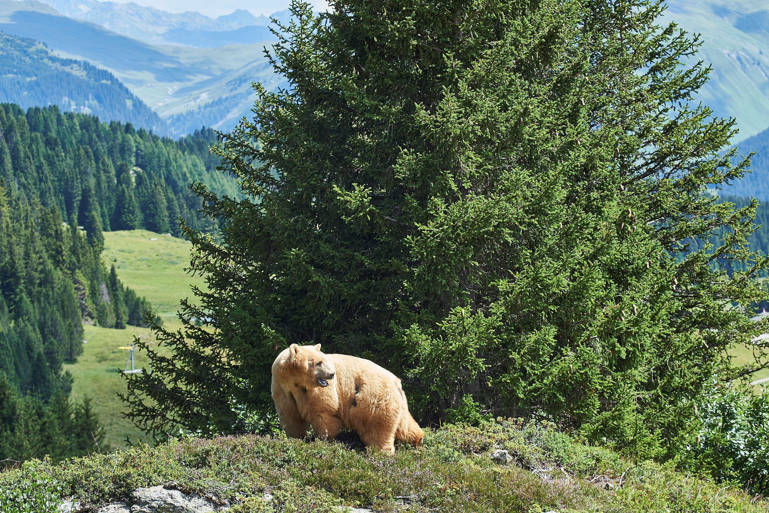 Napa, der Braunbär, der sein Leben bisher in Gefangenschaft verbrachte, geniesst sichtlich seine neue Freiheit im Bärenpark von Arosa